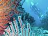 Koraller ved Sipadan Island
