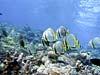 Flagermusfisk ved Sipadan Island