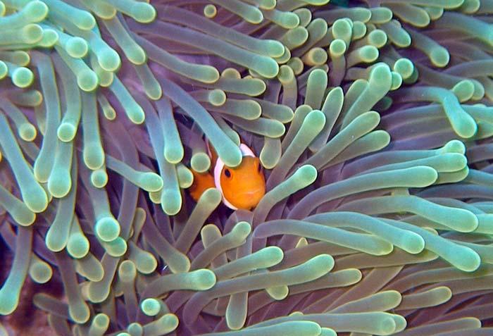 Klovnfisk gemmer sig i søanemone ved Lang Tengah