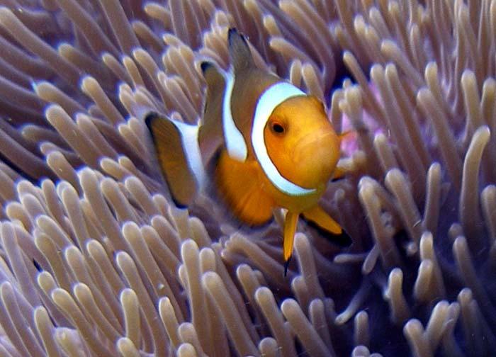 Klovnfisk på Lang Tengah