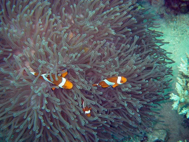 Klovnfisk ved Lang Tengah