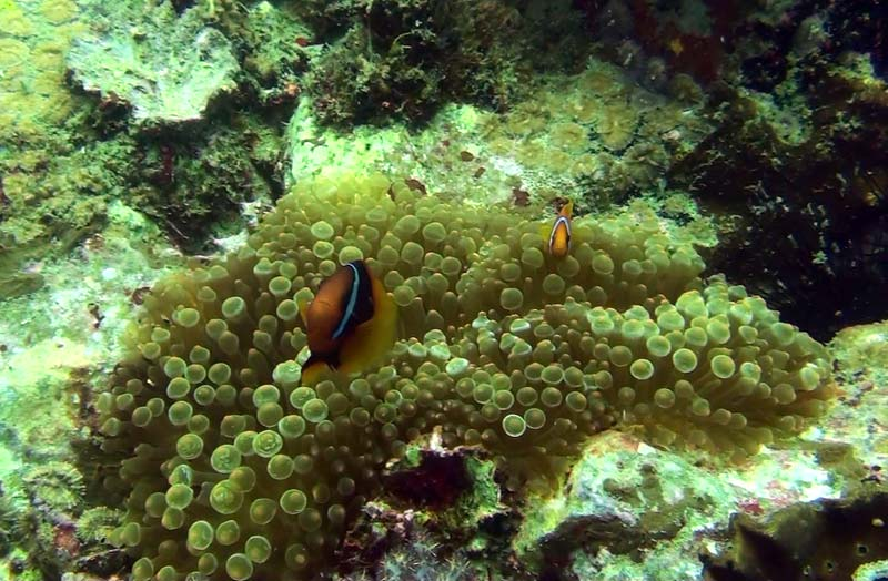 Klovnfisk ved Tokong Laut ved Perhentian Islands