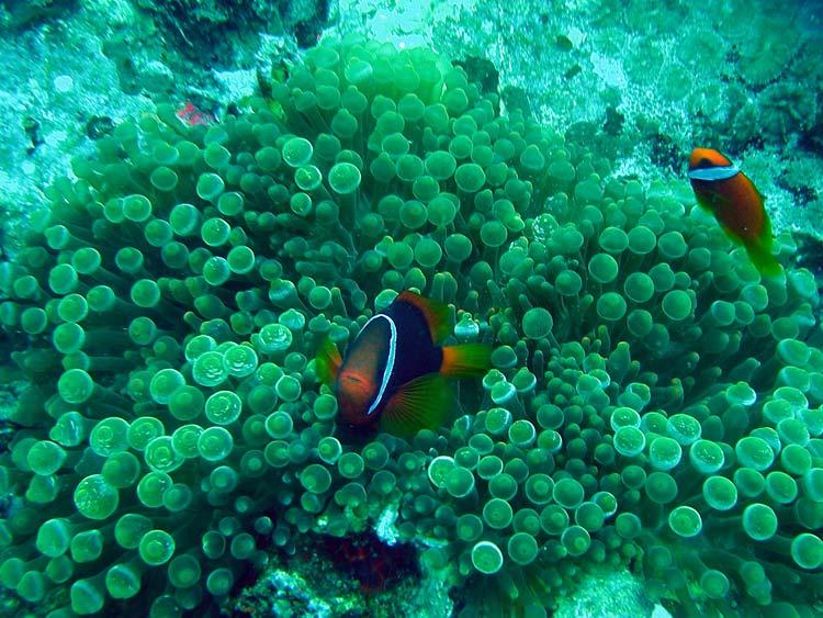 Klovnfisk ved Perhentian Islands