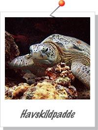 Havskildpadde ved Turtle Tomb - Foto Søren Knudsen