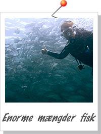 Enorme mængder fisk - Foto Søren Knudsen