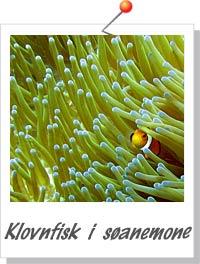 Klovnfisk i søanemone - Foto Søren Knudsen