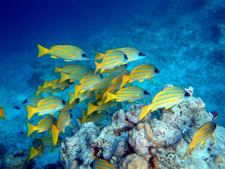 Snappere ved Maayafushi Island