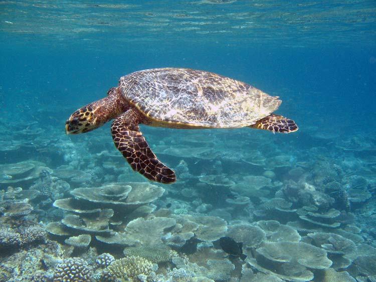 Havskildpadde ved Bathala Island