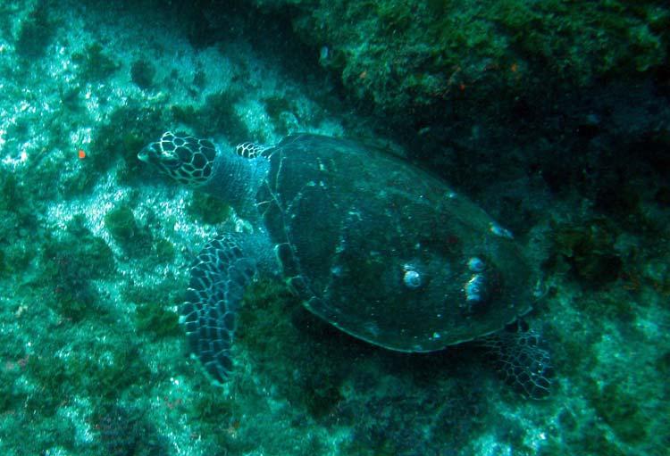 Havskildpadde ved Zavora
