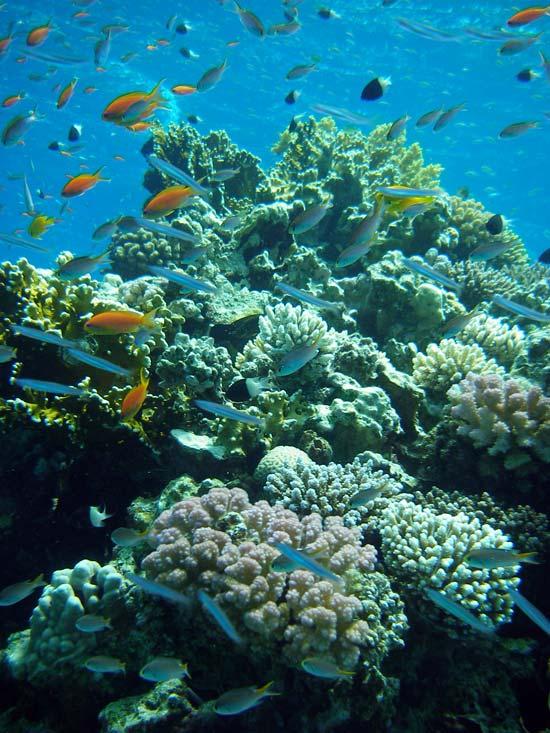 Koraller og fisk i Ras Abu Galum