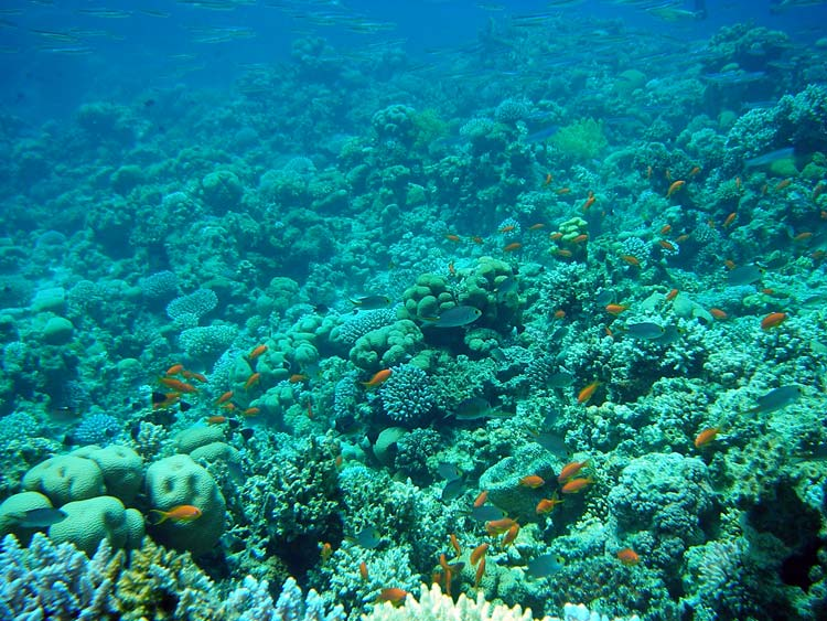 Koralrev i Ras Abu Galum
