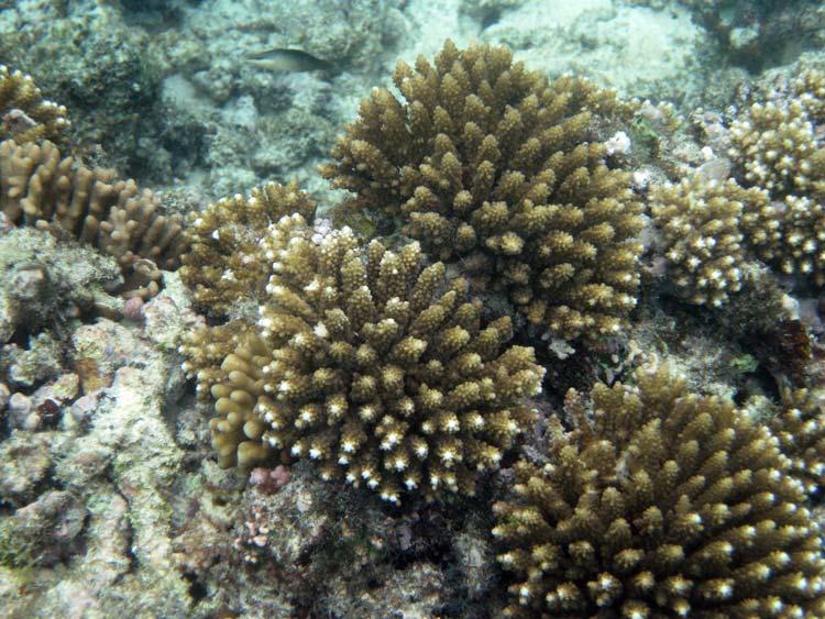 Koraller ved Praslin Island