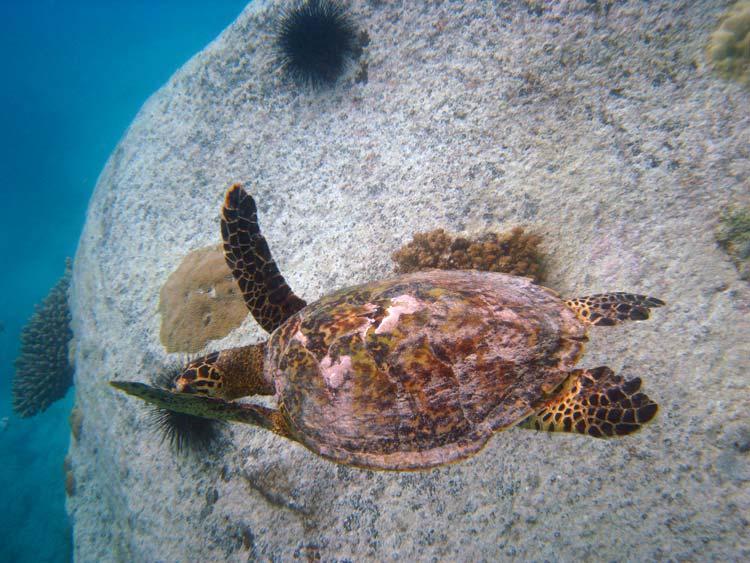 Havskildpadde ved Anse Lazio
