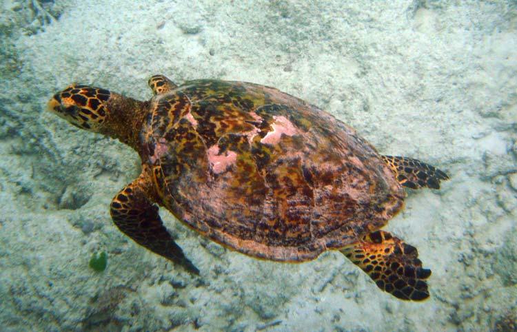 Havskildpadde ved Praslin Island