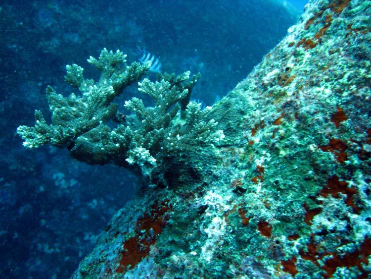 Koraller på klipperne ved Shark Point på Mahé