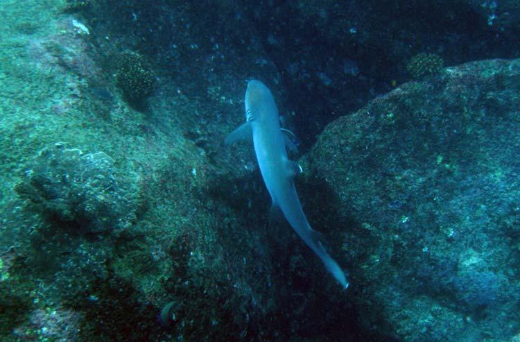 Hvidtippet revhaj ved Shark Point