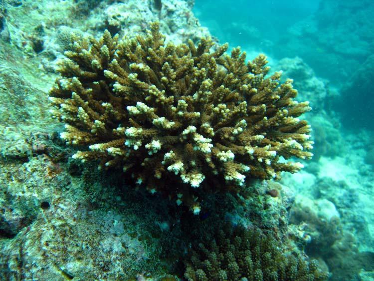 Koral ved Alice in Wonderland