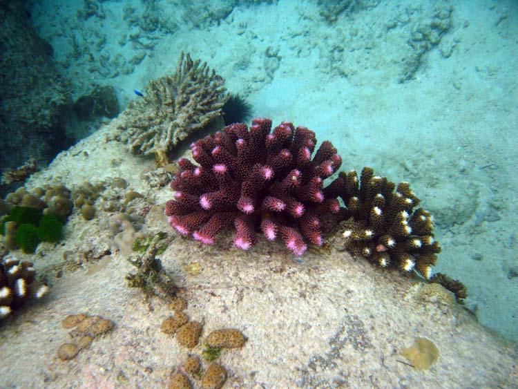 Koraller på klippevægge ved Praslin Island