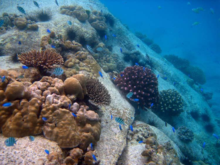Koraller på klipperne ved Anse Lazio