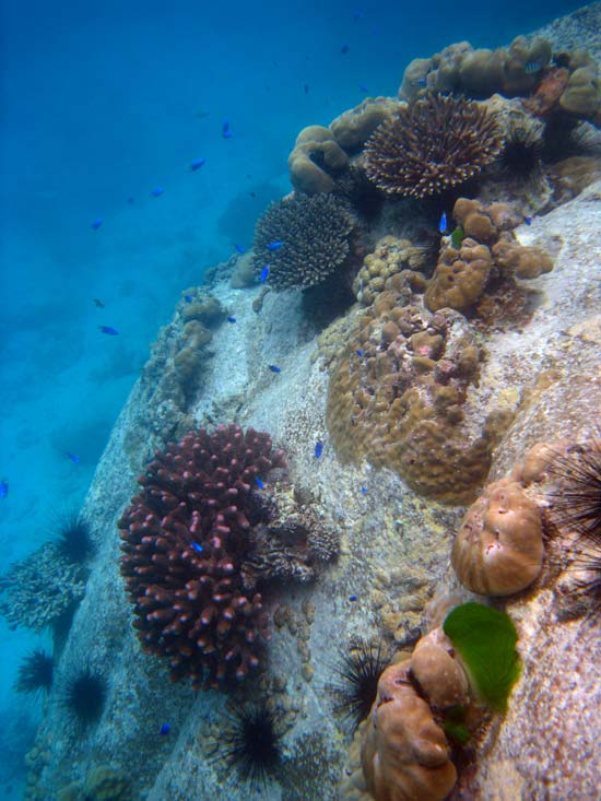 Koraller ved Anse Lazio