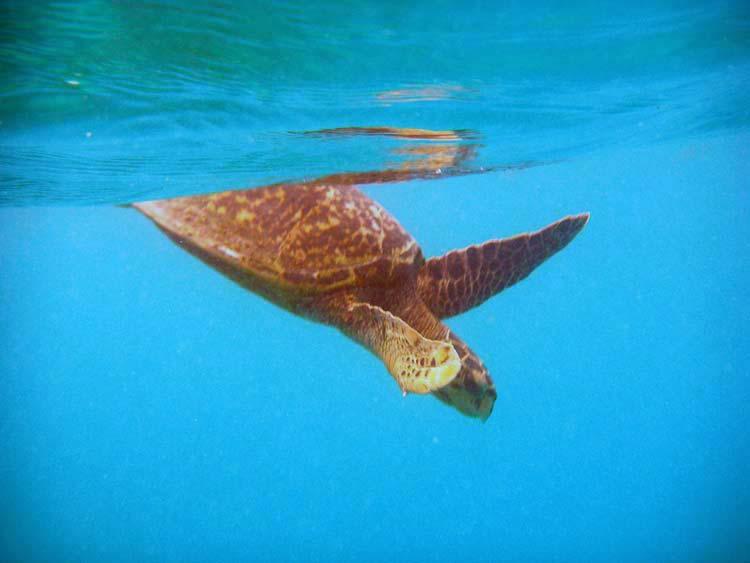 Havskildpadde ved La Digue