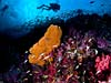 Smukt koralrev ved Richelieu Rock