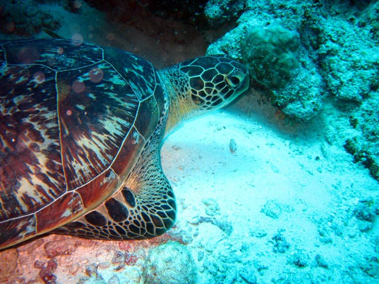 Skildpadde ved Mnemba, Zanzibar