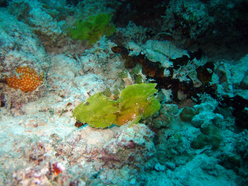 Bladfisk ved Magic Reef, Zanzibar