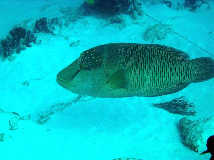 Napoloenfisk ved Mnemba - Zanzibar