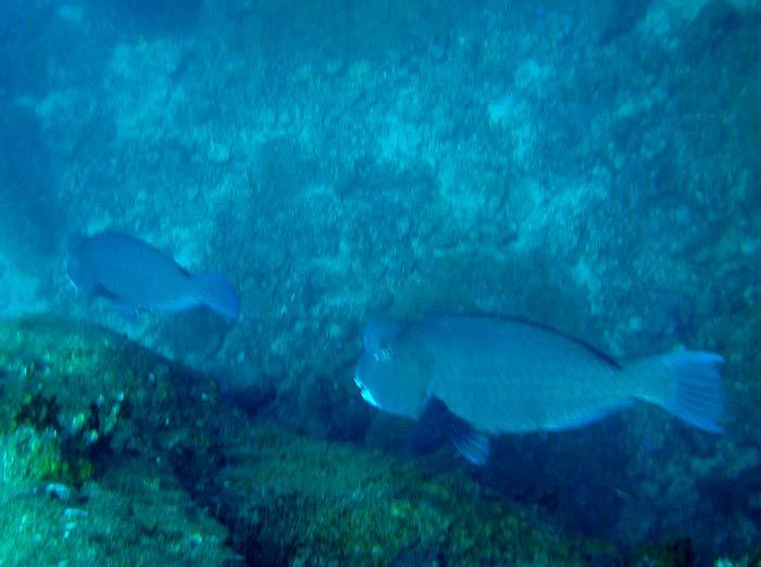 To Bumphead Papegøjefisk ved Lang Tengah