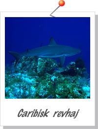 Caribisk revhaj - Foto Sandra Leidersdorff