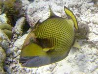 Aftrækkerfisk - www.bigfoto.com
