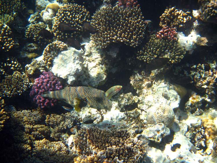 Kuglefisk bliver rengjort ved Mashraba reef