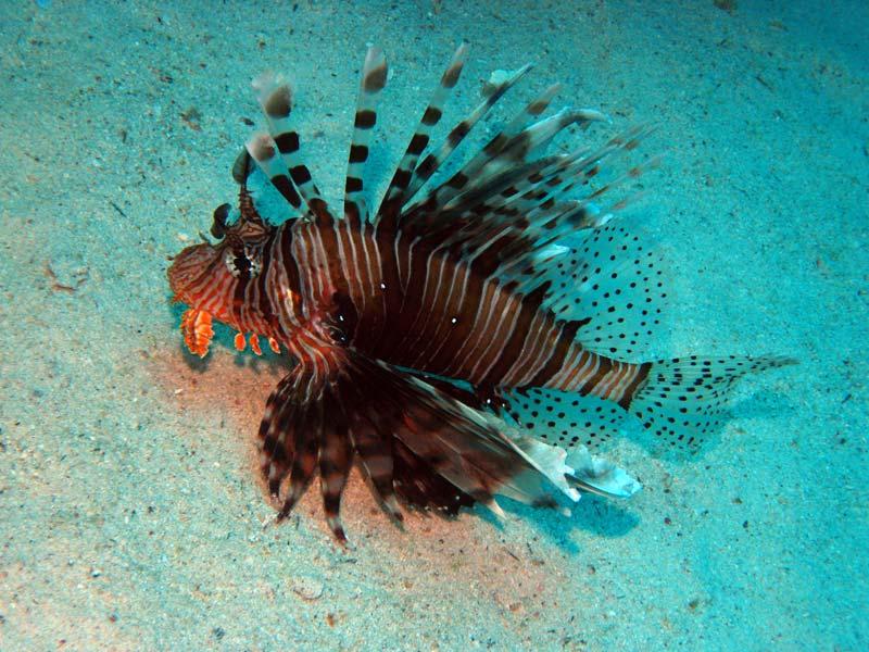 Dragefisk ved Ras Umm Sid