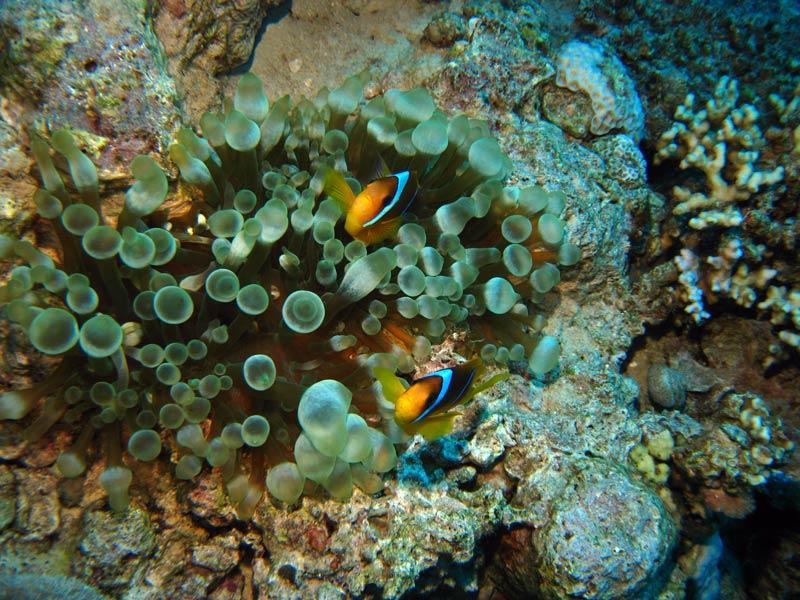 Klovnfisk i Aqaba