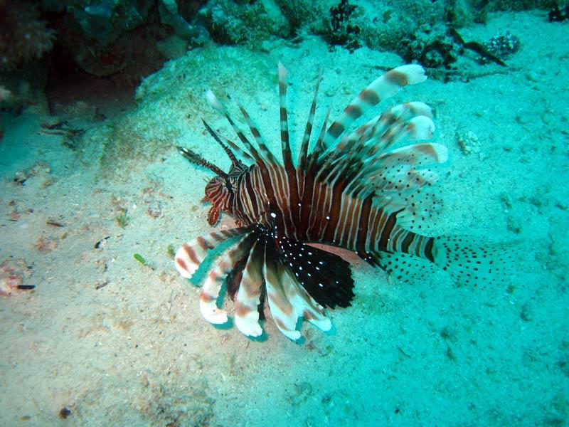 Dragefisk ved Magic Reef, Zanzibar