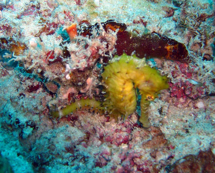 Søhest ved Magic Reef - Zanzibar