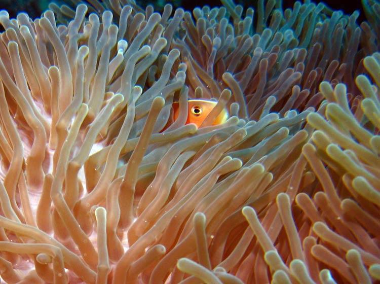 Klovnfisk ved Magic Reef - Zanzibar